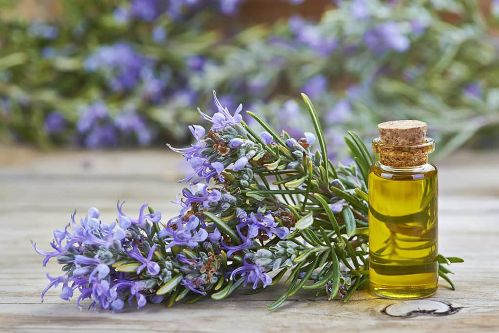 Rosemary essential oil as a DIY scrub to detox your scalp